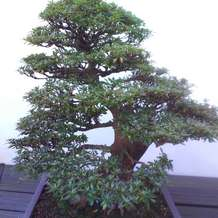 Bonsai-and-japanese-gardens-1551031064