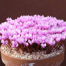 Guided-tour-cyclamen-collection-1552137458