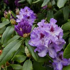 Celebrating-heritage-rhododendrons-in-birmingham-gardens-1549629663