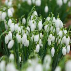 Snowdrop-walks-1517129924