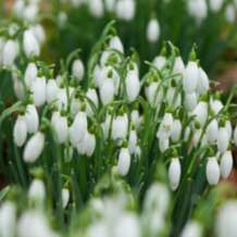 Snowdrop-walks-1547027330