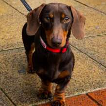 Dachshund-pop-up-cafe-1577570414