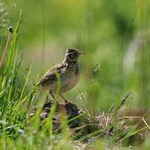Dawn-chorus-walk-up-with-the-lark-1493406228
